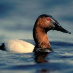 Photo of canvasback