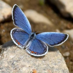 Photo of eastern tailed-blue