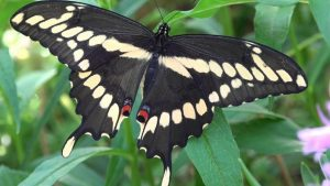Photo of a giant swallowtail