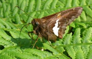 Photo of a silver-spotted skipper