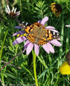 Photo of a painted lady butterfly on a flower
