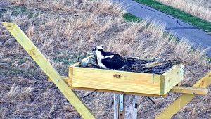 Photo of osprey on the nest