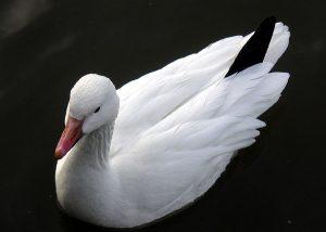 Photo of a snow goose