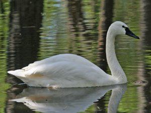 Photo of a tundra swan