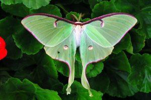 Photo of a luna moth