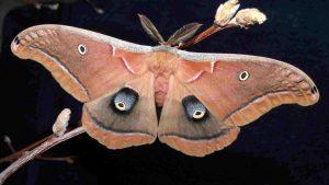 Photo of a polyphemus moth