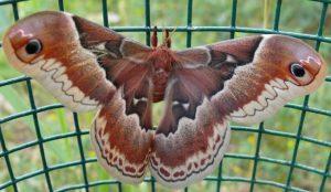 Photo of a promethea moth