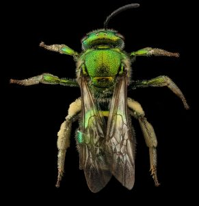 Photo of sweat bee