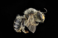 Photo of a digger bee