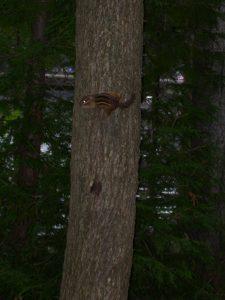 Photo of a chipmunk climbing a tree
