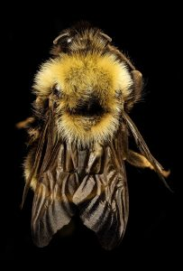 Photo of a rusty-patched bumblebee