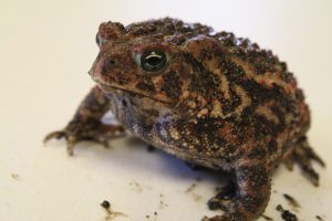 Photo of Al the toad