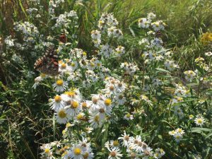 Photo of insects on a panicled aster