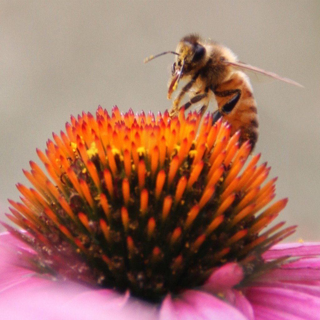 honeybee on a purple coneflower