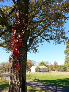 Photo of a fall tree with the Westport Schoolhouse in the background