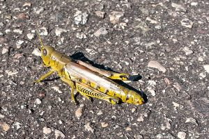 Photo of a grasshopper on the asphalt trail