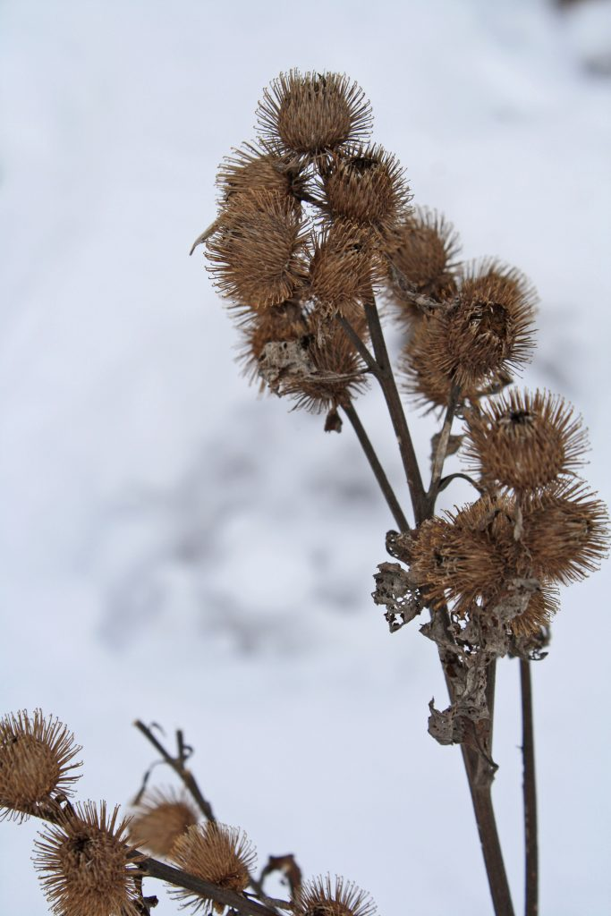Photo of flower seed heads in the snow