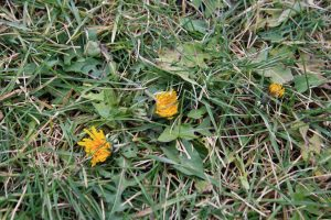 Photo of dandelions in the wet grass