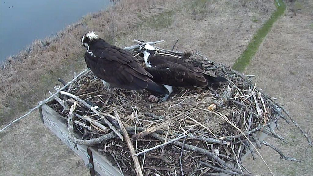 two osprey sitting on a nest with an egg