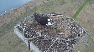 Photo of an osprey on its nest