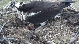 Photo of an osprey in a nest with eggs