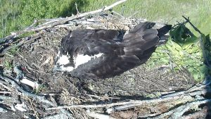 Photo of a sleeping mama osprey