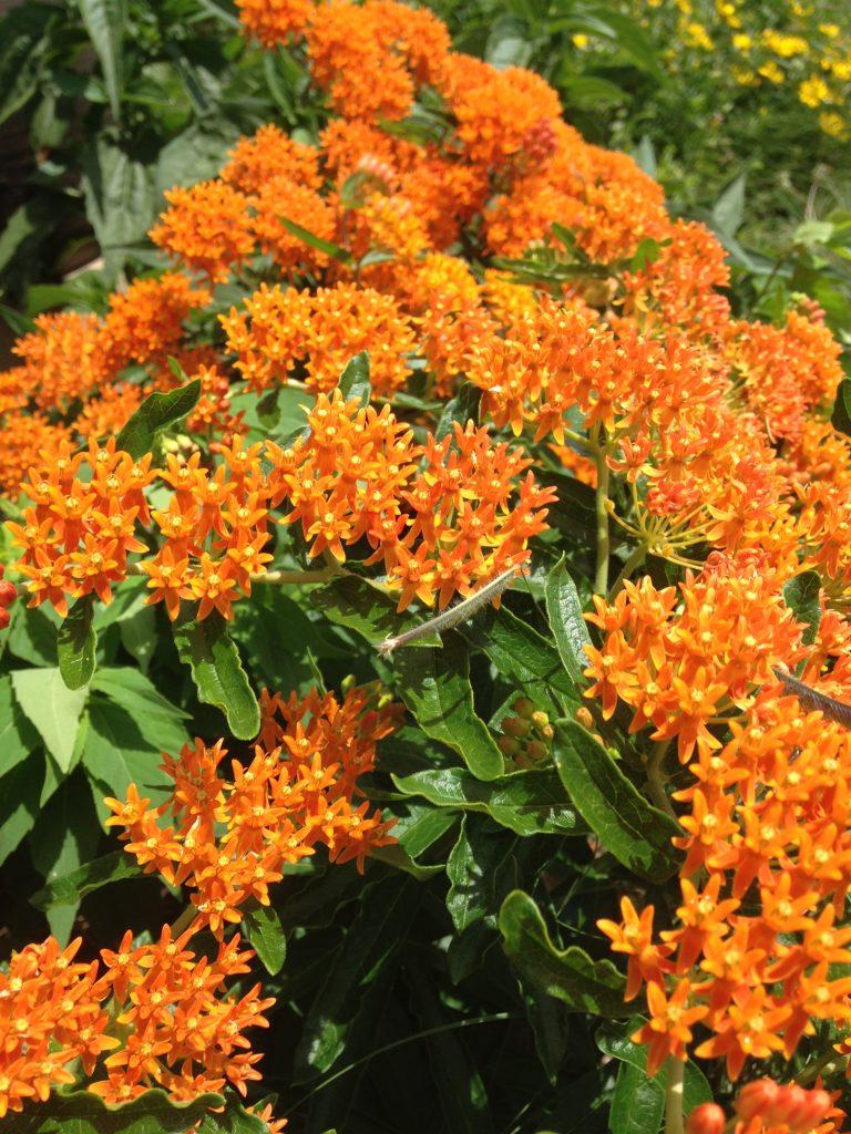 Photo of orange butterfly milkweed plant