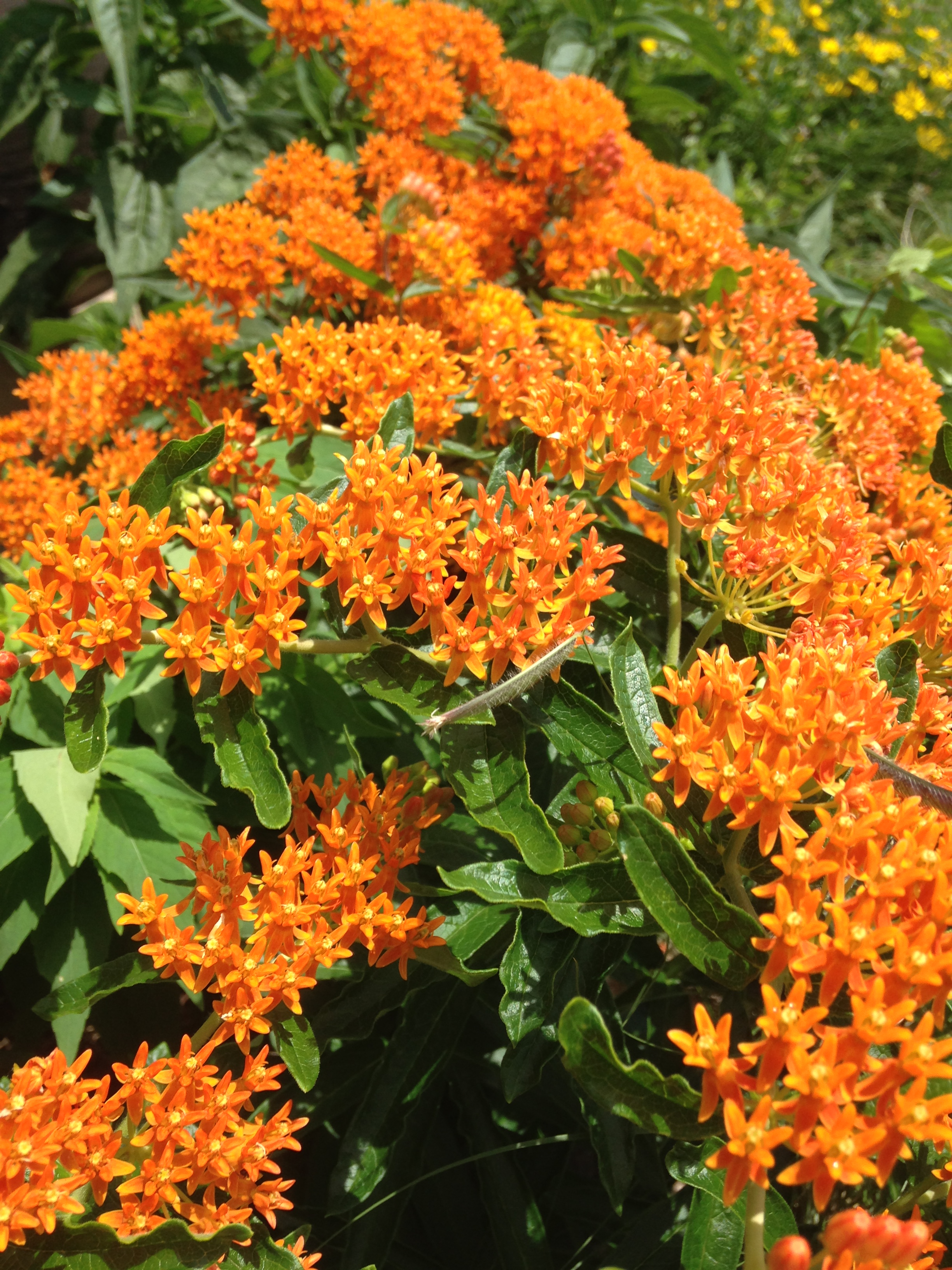 Red Butterfly Milkweed Asclepias Curassavica Red: Five Decorative Milkweeds To Beautify Your Yard And Help