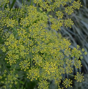 Photo of a wild parsnip flower