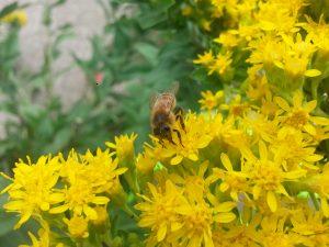 Photo of a honeybee on a flower
