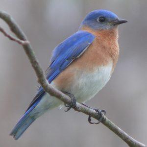 Photo of a bluebird
