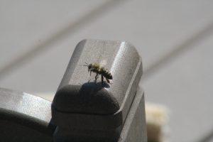 Photo of a honey bee