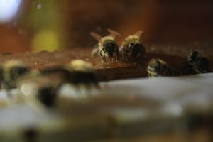 Photo close-up of honey bees