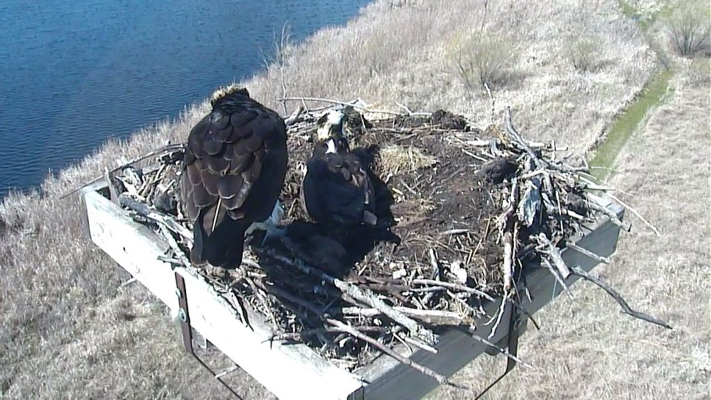 two osprey in their nest