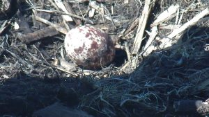 Photo of an osprey egg