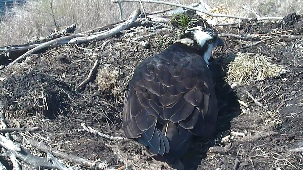 Photo of an osprey sitting on the nest
