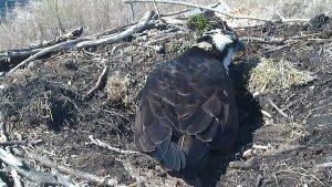 osprey sitting on the nest