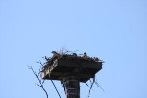 Photo of three osprey chicks peeking out of the nest