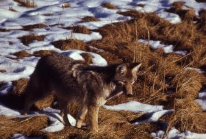 Photo of a coyote in snowy grass