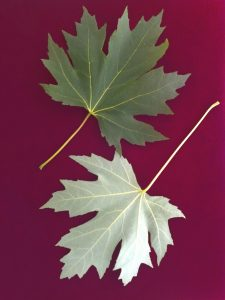 Photo of a silver maple leaf