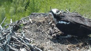 Photo of a female osprey with chicks