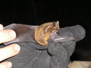 Photo of an evening bat on a hand