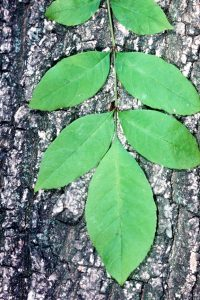 Photo of green ash leaves