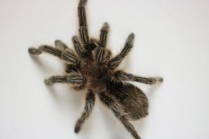 Photo of a tarantula