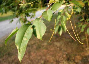 Photo of a black cherry leaf