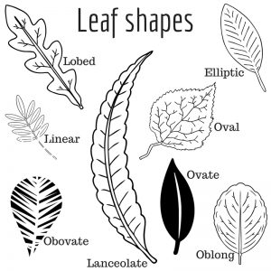 Graphic of leaf shapes