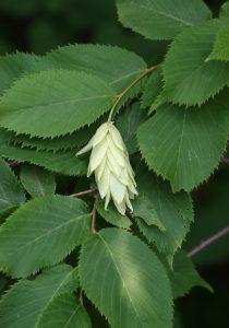 Photo of an ironwood leaf