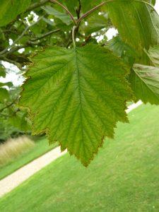 Photo of a hawthorn leaf
