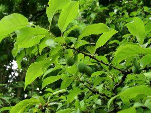 Photo of an american plum leaf