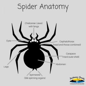 Graphic of spider anatomy
